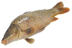 Isolated Fresh Carp Royalty Free Stock Image