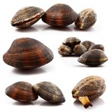 Isolated fresh clams collage in white background. Isolated fresh clams collage on white background Royalty Free Stock Photos