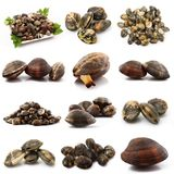 Isolated fresh clams collage in white background. Isolated fresh clams collage on white background Royalty Free Stock Images