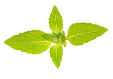 Isolated fresh mint leaves Royalty Free Stock Image