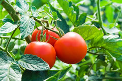 Isolated fresh red tomatoes and green leaves. Isolated growing three fresh red tomatoes with green leaves Stock Photography