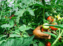 Isolated fresh red tomatoes and green leaves. Isolated growing three fresh red tomatoes with green leaves Stock Image