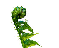 Natures Fresh Springtime Fern stock photography