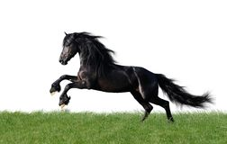 Isolated friesian horse playing on the grass royalty free stock photo
