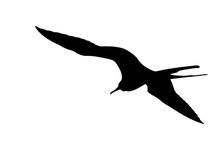 Isolated frigate-bird silhouette Royalty Free Stock Photo
