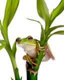 Isolated frog on bamboo. White-lipped tree frog or Litoria Infrafrenata isolated on bamboo branch Stock Photography