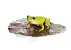 Isolated frog on leaf Royalty Free Stock Photos