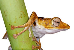 Isolated frog over white Stock Images