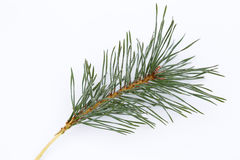 Isolated frosty pine branch Stock Photography