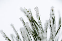 Isolated frosty pine branch royalty free stock photos