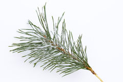 Isolated frosty pine branch Royalty Free Stock Images