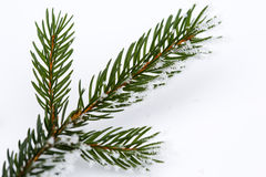 Isolated frosty spruce branch Royalty Free Stock Photos