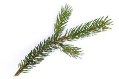 Isolated frosty spruce branch Stock Photography
