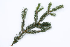 Isolated frosty spruce branch Royalty Free Stock Images