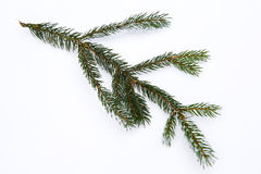 Isolated frosty spruce branch Stock Images