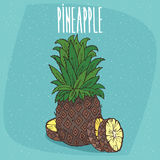 Isolated fruit of ripe ananas with slices. Fruit of ripe ananas with luxurious crown of leaves, whole and cut into slices with visible flesh. Isolated background vector illustration