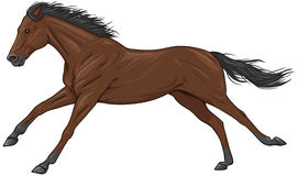 Isolated galloping brown horse Stock Image