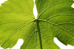 Isolated gamay leaf on white background Stock Image