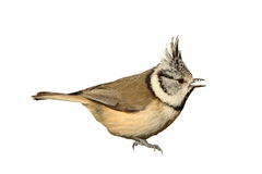 Isolated garden bird, the european crested tit. Garden bird, the european crested tit   Lophophanes cristatus  isolated over white background Stock Image