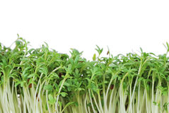 Isolated Garden Cress Sprouts Stock Images