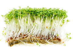 Isolated Garden Cress Sprouts Royalty Free Stock Photos
