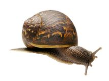 Isolated Garden Snail royalty free stock image