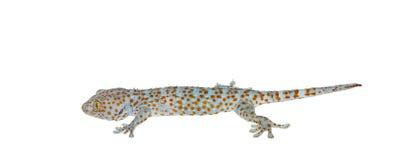 Isolated gecko on white background Stock Photo