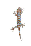Isolated gecko on white background Royalty Free Stock Photography