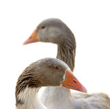 Isolated Geese royalty free stock photography