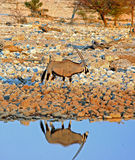 An Isolated Gemsbok Oryx next to a waterhole with good reflection Stock Photo