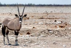An isolated Gemsbok Oryx standing at a busy waterhole Royalty Free Stock Photo