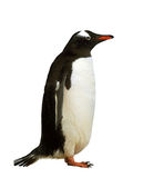 Isolated gentoo penguin Royalty Free Stock Photography