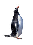 Isolated gentoo penguin Stock Photo