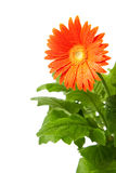 Isolated Gerbera Royalty Free Stock Image