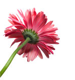 Isolated Gerbera Daisy. Isolated red gerbera daisy from behind Royalty Free Stock Photo