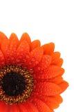 Isolated gerbera flower. Beautiful fresh orange gerbera flower isolated on a white background stock photos