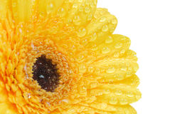 Isolated gerbera flower. Beautiful fresh yellow gerbera flower isolated on a white background royalty free stock photo
