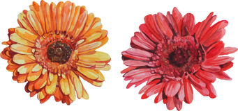 Isolated gerbera flowers made in watercolor Royalty Free Stock Images