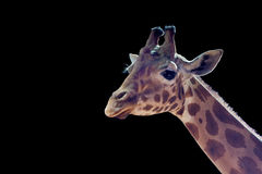 Isolated giraff close up portrait Royalty Free Stock Image