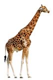 Isolated giraffe. Standing up of profile Royalty Free Stock Images