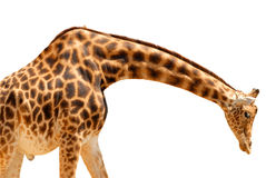 Isolated giraffe. Isolated male giraffe the leaning head towards the ground Stock Photography