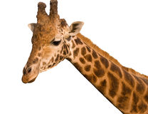 Isolated giraffe. Isolated face and neck of a giraffe Royalty Free Stock Photo