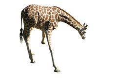 Isolated giraffe. Isolated image of a giraffe. If you like this image, you may also want to take a look at the isolated elephant in my portfolio at Royalty Free Stock Photography
