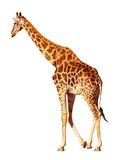 Isolated giraffe Stock Image