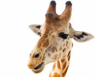 Free Isolated Giraffe Closeup Stock Images - 91007954
