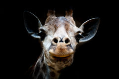 Isolated Giraffe head in black background Stock Photography