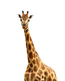 Isolated Giraffe Looking at Camera Stock Photo
