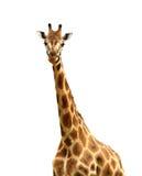 Isolated Giraffe Looking at Camera. A giraffe, isolated against white, looking at the camera stock photo