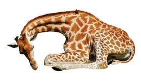 Isolated giraffe lying Stock Photos