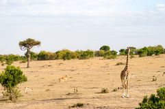 Isolated giraffe in the savannah of Masai Mara Park in North Wes royalty free stock photos